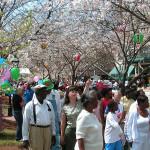 Atlanta cherry Blossom Festival