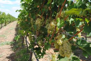 uva-brasile-vino