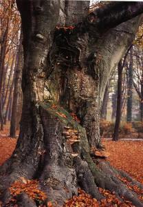 13.-Giardini-Reali--Faggio-con-funghi-medium