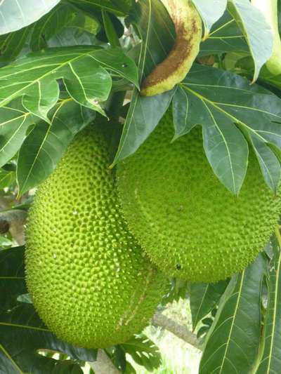 Cucina tahitiana un mix coloratissimo di culture for Albero di ananas