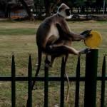 Sri Lanka. Scimmie nel parco reale di Kandy