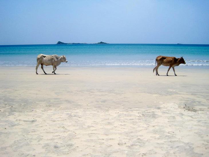 viaggiare-in-sri-lanka-Mucche-700