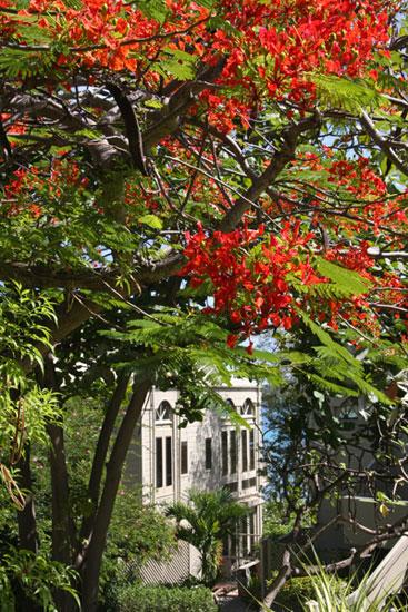 Albero-di-flamboyant-in-un-angolo-dell'isola-di-St-John-Isole-Vergini-Americane-Foto-di-Marco-Restelli-700