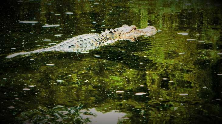 1-coccodrillo-lettuce-park-Vacanze-in-Florida