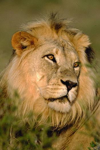 2-sudafrica-viaggio-leone-350