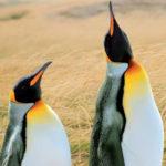 Con la crociera Australis in Cile e Argentina sulla rotta dei fiordi e dei ghiacciai, alla scoperta dei pinguini reali di Bahia inutil