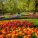"""Streaming appointment at Keukenhof: """"We bring tulips to your home!"""""""