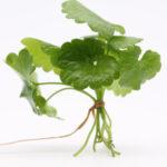 Dalla Mesopotamia al Roero, Enrico Crippa racconta il piatto di maggio, asparagi al brusco, una pianta antica di secoli.